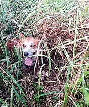 草むらに産卵されたインドクジャクの卵と見つけた探査犬(竹富町提供)