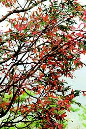 紅葉の季節を迎えたハゼノキ。山々を真っ赤な葉が鮮やかに彩っている=10月下旬、石垣市バンナ公園