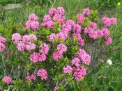 Blütenzauber der Alpen