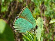 Callophyrus rubi. Brombeerzipfelfalter, Natura 2000, Hergenrath, Kelmis, Göhl, Geul, Gueule,Völkersberg, Belgien