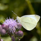 Kleiner Kohlweißling (Pieris rapae) , Natura 2000, Hergenrath, Kelmis, Göhl, Geul, Gueule,Völkersberg, Belgien