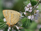 Birkenzipfelfalter, Thecla betulae, Natura 2000, Hergenrath, Kelmis, Göhl, Geul, Gueule,Völkersberg, Belgien