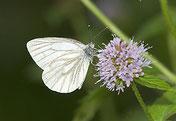Rapsweißlin, Pieris napi, Natura 2000, Hergenrath, Kelmis, Göhl, Geul, Gueule,Völkersberg, Belgien