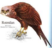 BiHU Vogelführer Natur Hergenrath Rotmilan