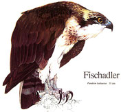 BiHU Vogelführer Natur Hergenrath Fischadler