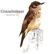BiHU Vogelführer Natur Hergenrath Völkersberg Grauschnäpper