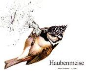 BiHU Vogelführer Natur Hergenrath Haubenmeise