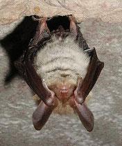 Bechsteinfledermaus, Myotis bechsteinii, Natura 2000, Hergenrath, Kelmis, Göhl, Geul, Gueule,Völkersberg, Belgien