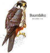 BiHU Vogelführer Natur Hergenrath Völkersberg Baumfalke