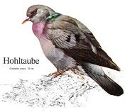 BiHU Vogelführer Natur Hergenrath Völkersberg Hohltaube