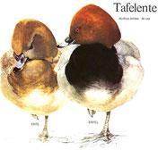 BiHU Vogelführer Natur Hergenrath Völkersberg Tafelente