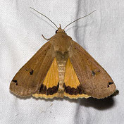 Hausmutter, Noctua pronuba, Natura 2000, Hergenrath, Kelmis, Göhl, Geul, Gueule,Völkersberg, Belgien