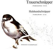 BiHU Vogelführer Natur Hergenrath Trauerschnäpper