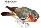 BiHU Vogelführer Natur Hergenrath Völkersberg Ringeltaube