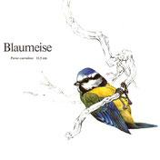 BiHU Vogelführer Natur Hergenrath Blaumeise