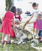 Kinder erleben die Schafschur...
