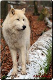 Polarwolf Amarok i. Wolfspark Werner Freund in Merzig, Foto c) M. Schönberger
