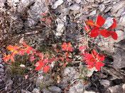 buisson à l'automne