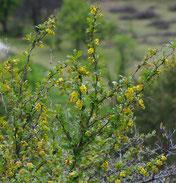 fleurs de l'épine-vinette