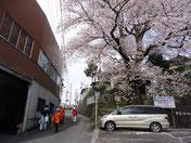 加賀沢の桜