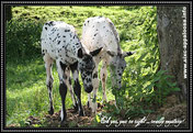 Appaloosa Old-Line  | Appaloosa Foundation | Appaloosa Sport Horse | By SIX C Appaloosa