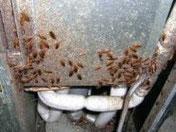冷蔵庫のモーター部に群生しているチャバネゴキブリ