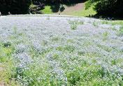花の国:青い花は ネモヒィラ