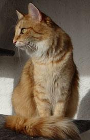 Njola vom Bergwald, Norwegische Waldkatze, ambertabby-spotted, 18 Monate alt