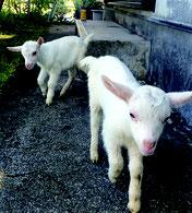 竹富町が波照間ヤギの振興策を検討している(写真は石垣市内のヤギです)