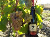 Bouteille d'Anjou rouge dans les vignes