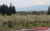 岩木山と林檎園  奥村さん提供
