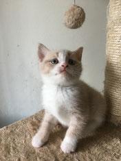 gatto maschio british bicolor bianco crem