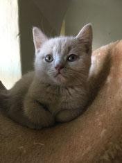 gatto british colore lilac