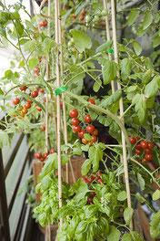 収穫できるようになったミニトマト