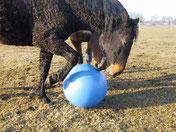 Curly Horse beim Fußballspielen