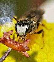 Solitäre Wildbiene Ernährung Fotomontage