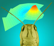 The locust could inspire new ways of processing sound