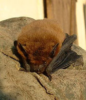 Zwergfledermaus, Pipistrellus pipistrellus, Natura 2000, Hergenrath, Kelmis, Göhl, Geul, Gueule,Völkersberg, Belgien