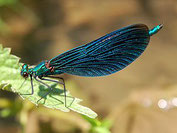 Blauflügel-Prachtlibelle, Calopteryx virgo, Natura 2000, Hergenrath, Kelmis, Göhl, Geul, Gueule,Völkersberg, Belgien