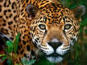 Ein seltener Gast - Der Puma
