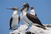 Blaufußtölpel auf den Ballestas Inseln in der Bucht von Paracas
