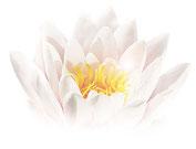 Seerose, Lotus, Spirituelle Entwicklung, Bewusstsein, Achtsamkeit, Selbstliebe