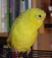 Schwarzauge, gelb (Citro)
