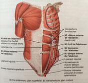 Vue antérieure, plan superficiel des muscles de l'abdomen. (Source: TORTORA et DERRICKSON (2016), Manuel d'anatomie et de physiologie humaines, p. 225)