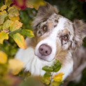 Aussie, Hundefotografie