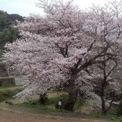 千年の滝桜
