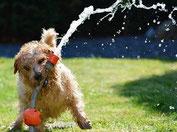 petit chien marron clair joue avec un tuyau d'eau par coach canin 16 votre éducateur canin en charente