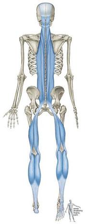 Oberflächliche Rückenlinie
