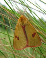 Rotrandbär  Männchen  (SH)