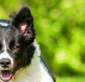 Border-Collie-Mischling